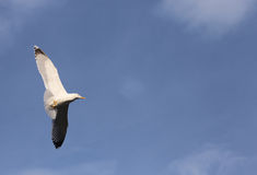 Evolution of the flight of a Seagull Stock Photography