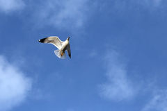 Evolution of the flight of a Seagull Royalty Free Stock Images