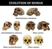 Evolution of human skull Sahelanthropus tchadensis . Australopithecus africanus . erectus . neanderthalensis . sa stock illustration