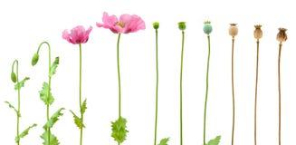 evolution isolerad opiumvallmowhite Arkivbild