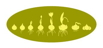 Evolution of onion with bulb, life cycle of bulbous plants vector illustration