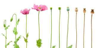 Evolution of Opium poppy isolated on white Stock Photography