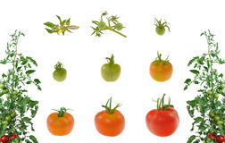 Evolution of red tomato isolated royalty free stock image