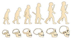 Evolution of the skull. Human skull. Australopithecus. Homo erectus. Neanderthalensis. Homo sapiens. Stock Photo