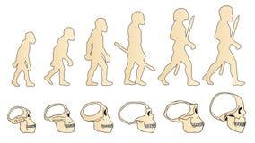 Evolution of the skull. Human skull. Australopithecus. Homo erectus. Neanderthalensis. Homo sapiens. Stock Photo