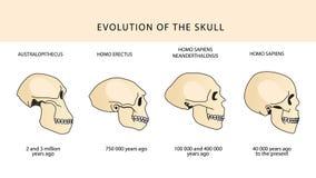 Evolution of the skull. Human skull. Australopithecus. Stock Photo