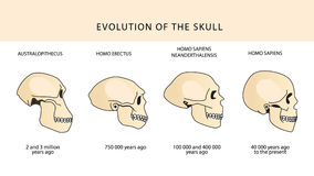 Evolution of the skull. Human skull. Australopithecus. Stock Image