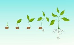 Evoluzione di crescita di pianta dal seme del fagiolo all'alberello Immagine Stock Libera da Diritti