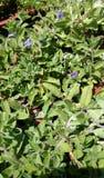 Evolvulus glomeratus 'Hawaiian Blue Eyes' Stock Photos