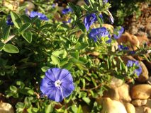 Evolvulus Plants Blossoming In Bright Sunlight During Sunrise In Garden. Royalty Free Stock Photo