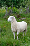 Ewe. On a green pasture stock images