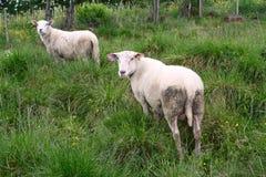 Ewe Stock Photo