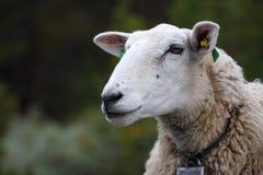 Ewe. With lamb close-up stock photos