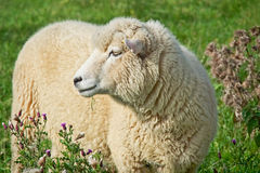 Ewe Amongst The Thistles Royalty Free Stock Images