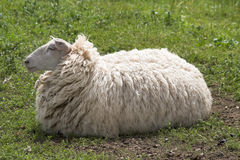 Ewe awaiting shearing. Sheep awaiting shearing to lose that fur coat Royalty Free Stock Photography