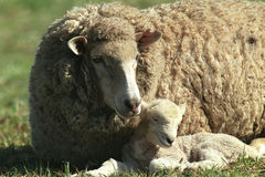 Ewe with baby lamb Royalty Free Stock Image