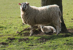 Ewe and Baby Lamb. Stock Image