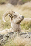 Ewe bighorn remaining alert while resting Stock Photos