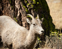 Ewe Bighorn sheep Royalty Free Stock Photography