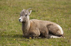 Ewe bighorn sheep ruminating on grass in profile view Royalty Free Stock Image