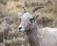 Ewe bighorn sheep in sagebrush and grass, portrait Stock Photo