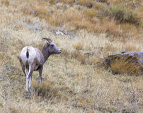 Ewe bighorn sheep in sagebrush and grass, from the rear on a hil Stock Images