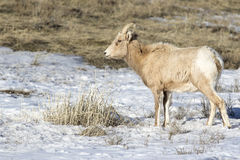 EWE BIGHORN SHEEP IN SAGEBRUSH STOCK IMAGE Stock Photo