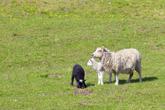 Ewe with a black lamb and a white lamb Royalty Free Stock Photography