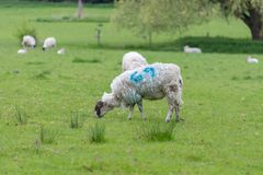 Sheep with shaggy fleece and blue number 69. Ewe with 69 branded on fleece munching on grass in field Royalty Free Stock Photo