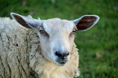 Ewes, close-up on a sheep. Ewe, close-up of a curious ewe looking at the photographer, close-up stock images