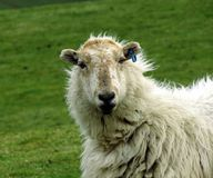 Ewe, close-up, head and shoulders, staring boldly. A ewe, ragged wool coat, ear tagged, head and shoulders image, staring boldly at onlooker Royalty Free Stock Photography