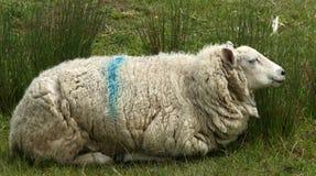 Ewe Couchant. Ewe lying in reeds Stock Photo
