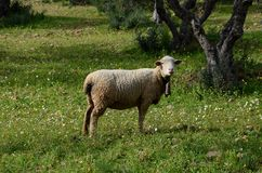 Ewe with cowbell Royalty Free Stock Photos