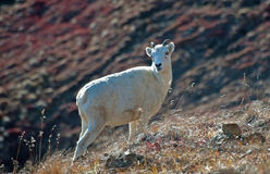 Ewe Dall Sheep. On the top of a mountain in Denali Alaska royalty free stock images