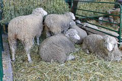Ewe farm Stock Photo