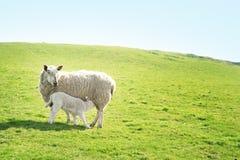 Ewe feeding her lamb. A ewe sheep feeding her lamb on a hillside Royalty Free Stock Images