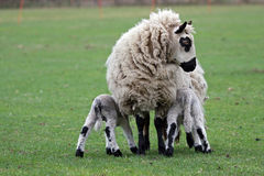 Ewe feeding her newborn lambs Royalty Free Stock Photography