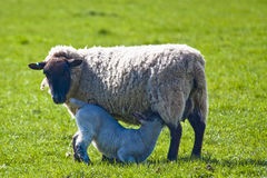 Ewe feeding lamb. Black head ewe feeding her lamb in field stock photography