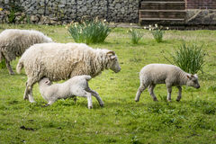 Ewe Feeding a Lamb Stock Image