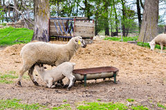 Ewe Feeding Lamb Royalty Free Stock Images