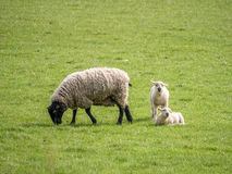 Ewe feeding one lamb standing and one lying Stock Images