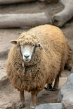 Ewe [female] Sheep in Peru South America. SA royalty free stock image