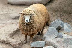 Ewe [female] Sheep in Peru South America. SA stock photography