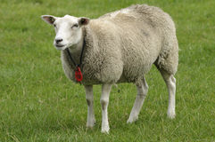 Ewe in a field Royalty Free Stock Images