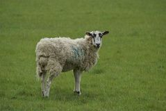Ewe in a field, a farm, or a farm land. Ewe or a female sheep in a field, farm, or a farmland stock photography