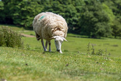 Ewe in field Royalty Free Stock Photography