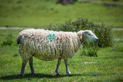 Ewe in field Stock Image