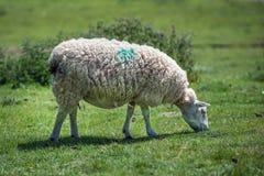 Ewe in field Stock Photos