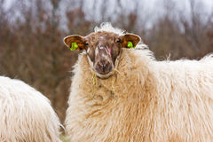 Ewe in flock of sheep Royalty Free Stock Images