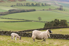 Ewe with grazing lamb Royalty Free Stock Photo